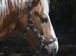 Heste Amager
