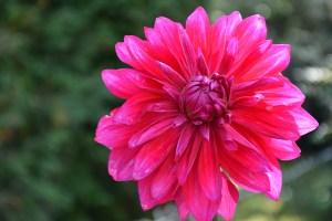 Die Dahlie –  Eine Spätsommer-Liebe