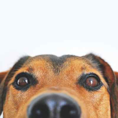 A dog with brown eyes peering at the camera, showing only the top half of it's brown and black shaded head.