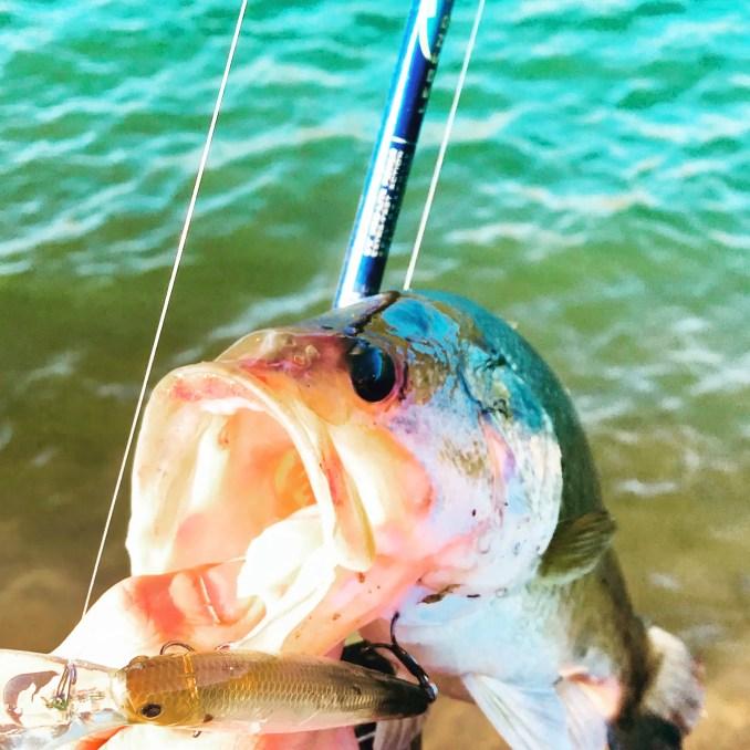 bass caught on a luckycraft pointer 78 deep diving jerkbait