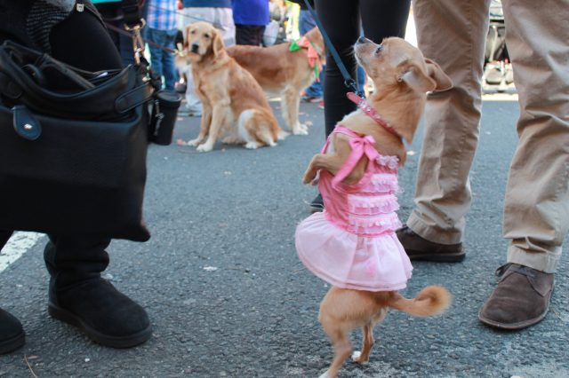 "Lily dressed up as ""Miss Mexico"" and participated in a Halloween Dog parade"