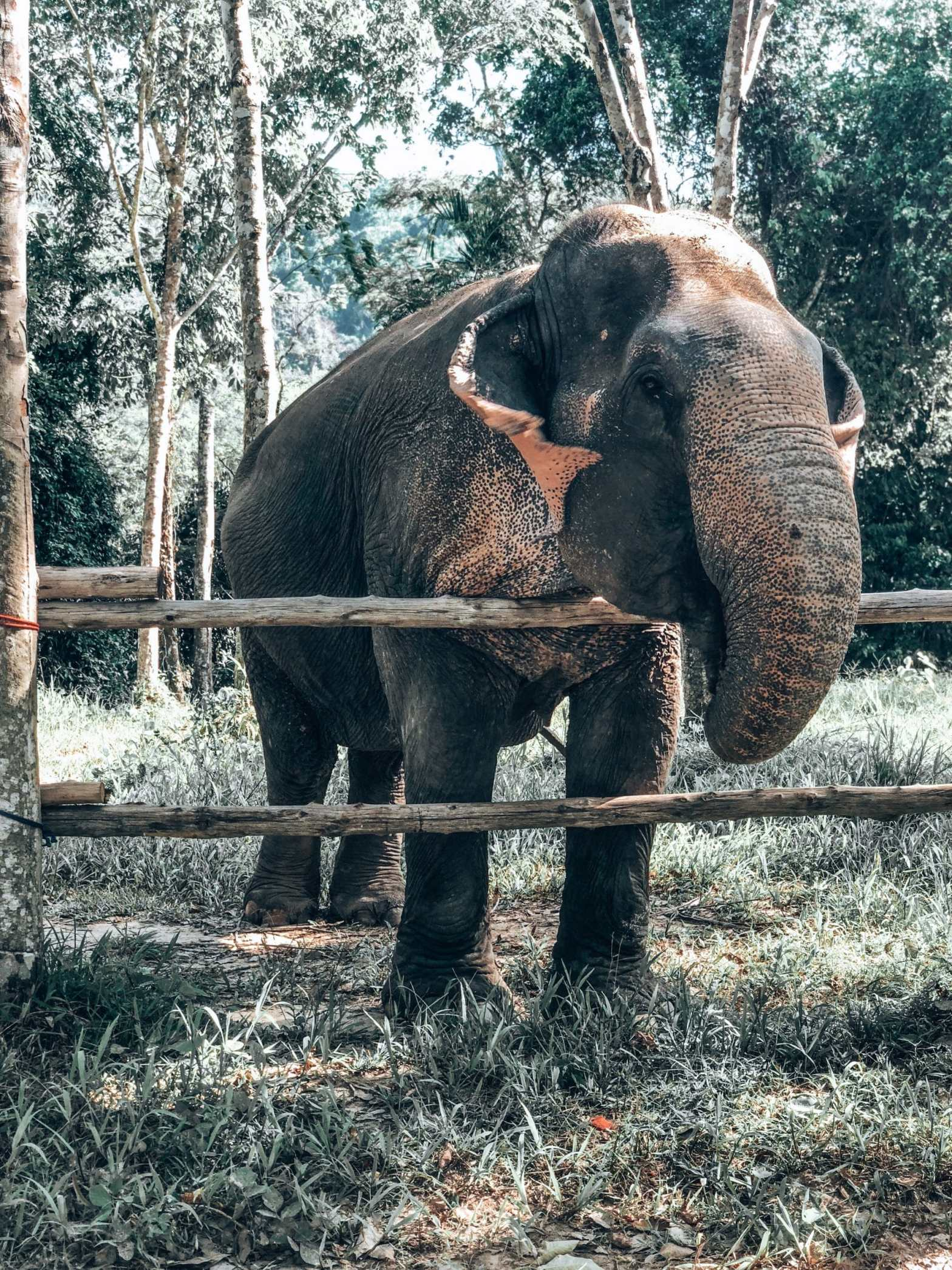 Elephant squeezing watermelon for food