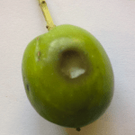 olive-manzanillo-fruit-marks
