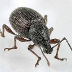 curculio-beetle-closeup-150x150