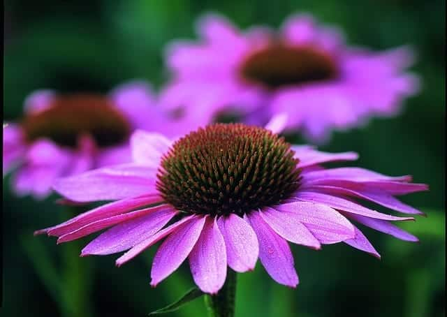amandacook.me How to make echinacea tincture. Echinacea by avogel on flickr