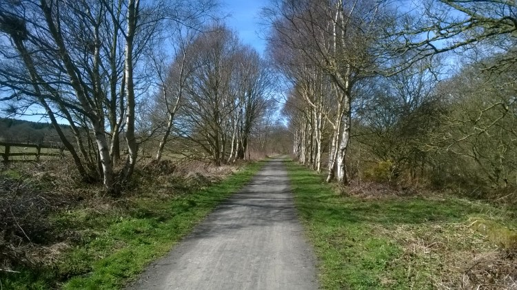 Avenue of silver birches, Lanchester byway