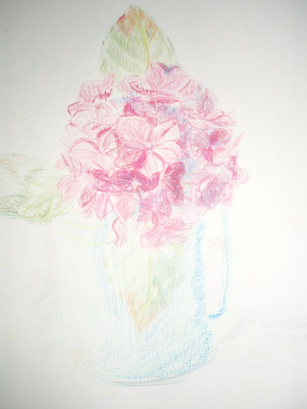 Hydrangea drawing by Amanda Jane Ogden