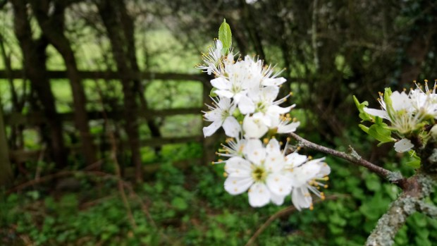 Cherry blossom beside the Railway Paths in County Durham