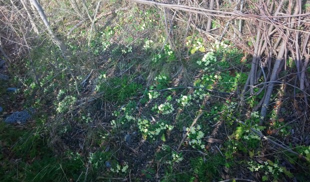 bank of primroses in County Durham