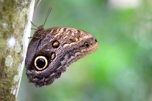 Great Owl Butterfly
