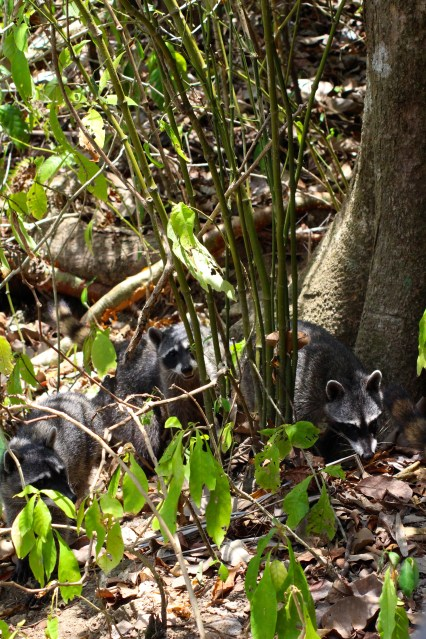 Northern Racoon family