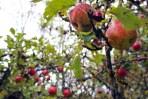 My favorite apple tree at Brook Farm
