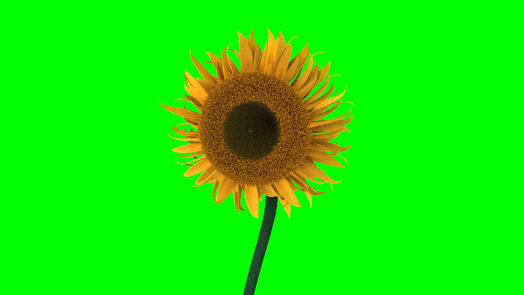 Image of a 3D sunflower with a green screen in the background