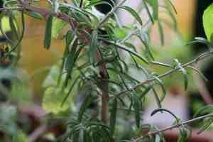 rosemary plant, fresh rosemary