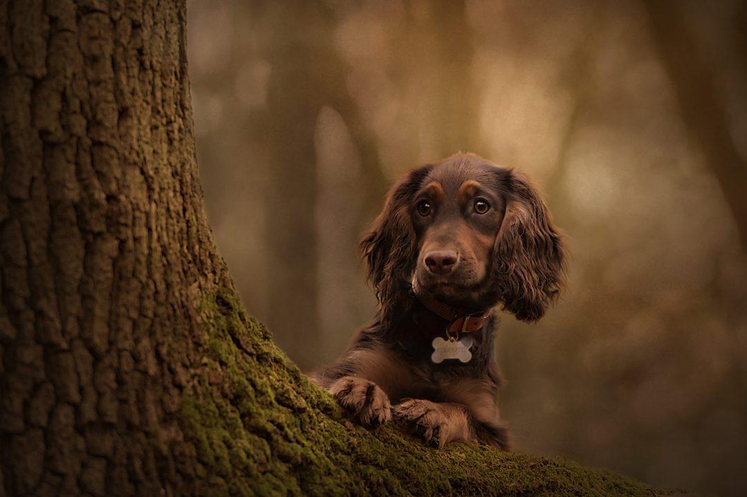 Dachshund black dog woods