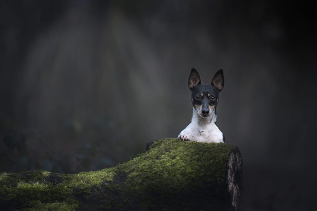Photographing Naughty Dogs Jack Russell