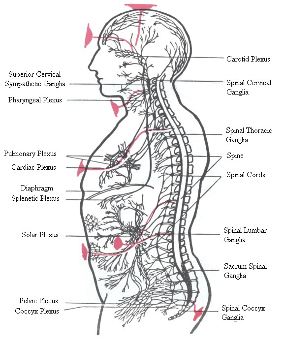 Carotid Plexus,Spinal Cervical Ganglia,Superior Cervical Sympathetic Ganglia,Pharyngeal Plexus,Spinal Thoracic Ganglia,Spine,Pulmonary Plexus,Cardiac Plexus,Spinal Cords,Diaphragm,Splenetic Plexus,Solar Plexus, Spinal Lumbar Ganglia,Sacrum Spinal Ganglia,Pelvic Plexus,Coccyx Plexus,Spinal Coccyx Ganglia
