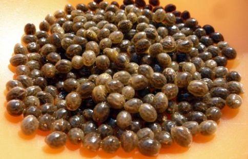 Les graines de papayer