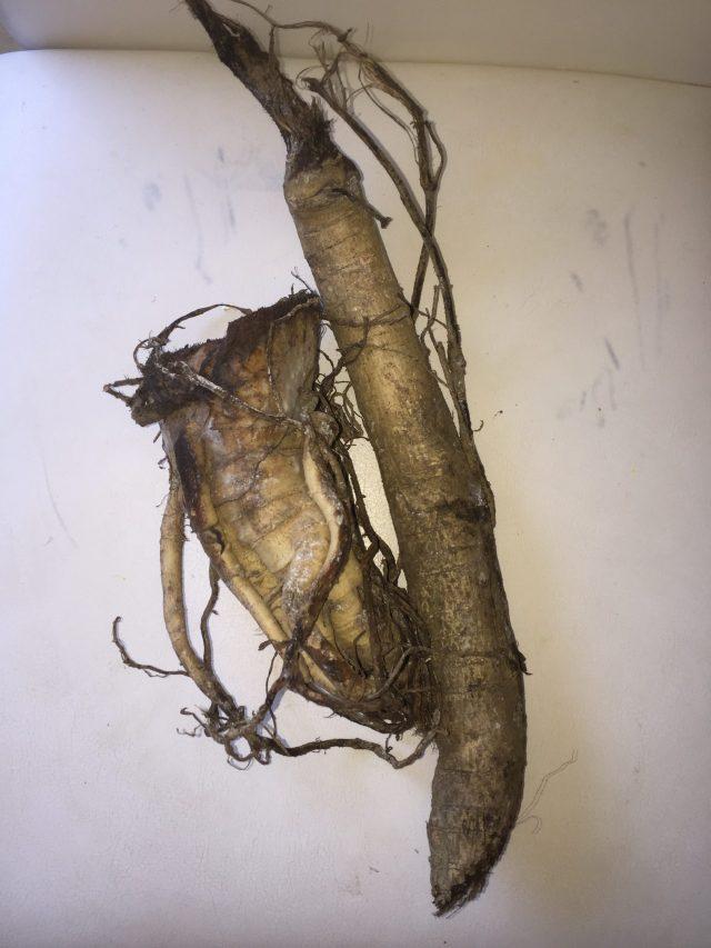 Racine de papayer mâle