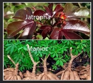Jatropha rouge et manioc contre le vih sida en Côte d'Ivoire