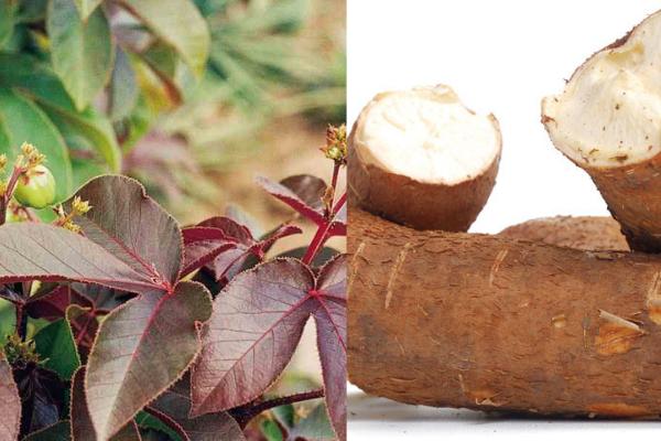 Traitements naturels du VIH SIDA par les plantes jatropha rouge et manioc