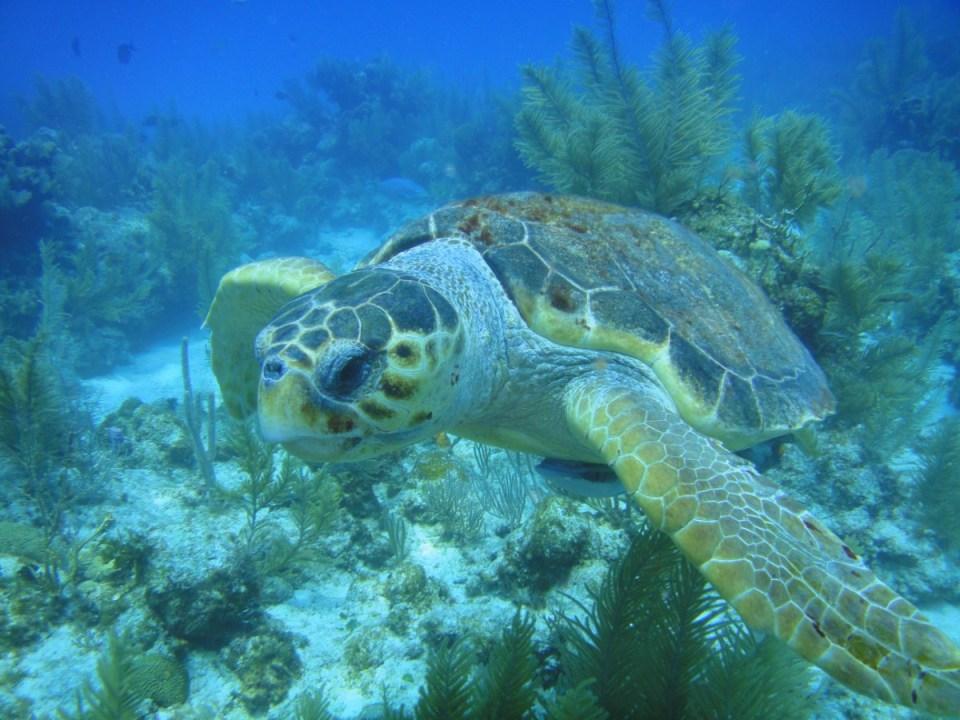 Tartaruga em Belize