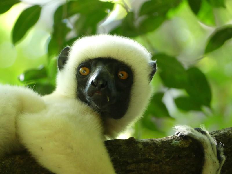 DeckenSifaka- Madagáscar @ credits Fotoadrenalina