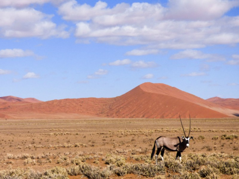 Oryx na Namíbia