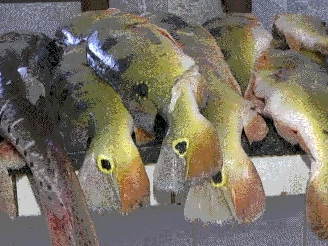 OCB Amapá Pesca