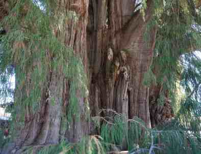 Tule Baum in Oaxaca Mexiko
