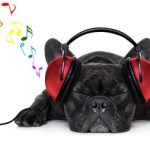42304660 - french bulldog dog listening to music with earphones or headphones,while relaxing or sleeping on the floor, isolated on white background