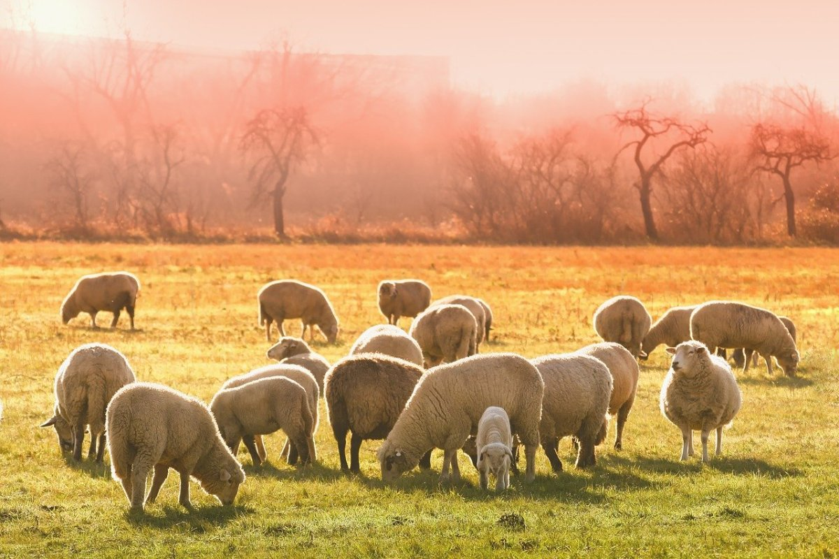 choosing the right breed of sheep