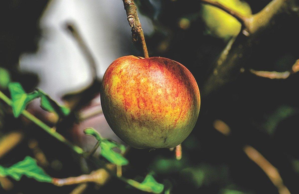 Growing Apple Trees in Florida