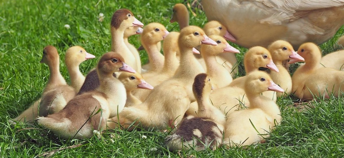 Are You Considering Raising Geese?