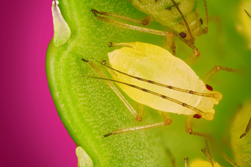 How to Get Rid of Aphids Without Damaging Your Vegetable Garden