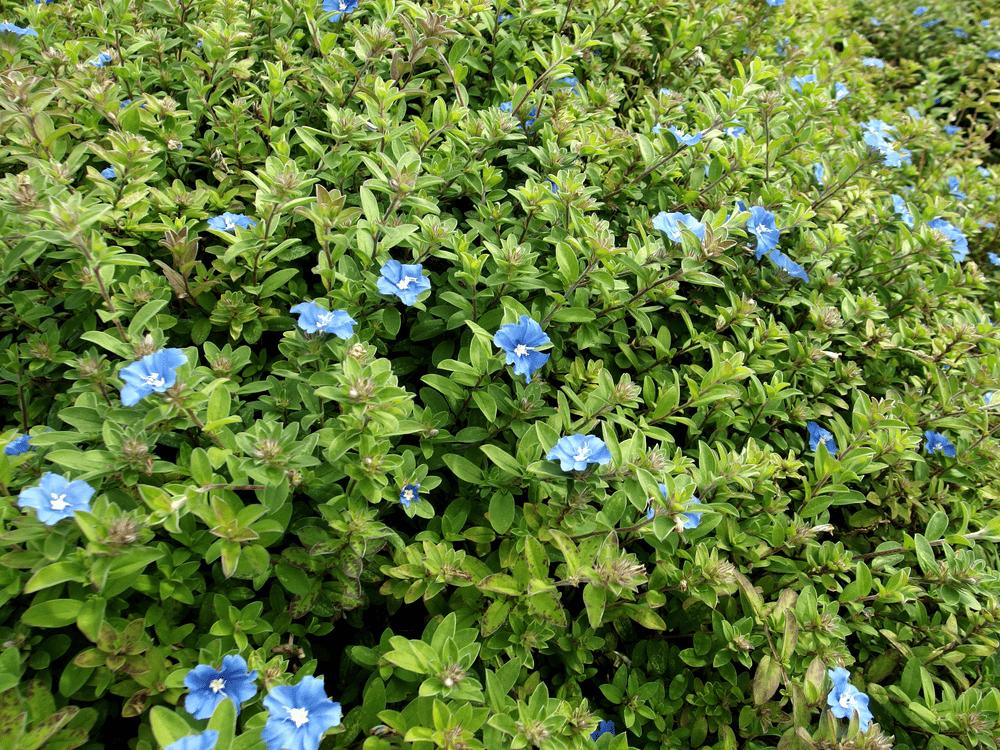 blue daze flowers
