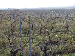 Peilhan vines still to be pruned