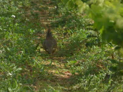 Partridge in Colombie, June 11