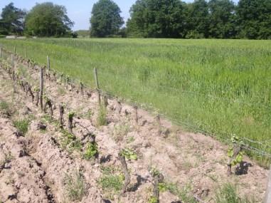 Blé a coté des vignes