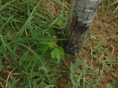 New Flower Power graft flourishing
