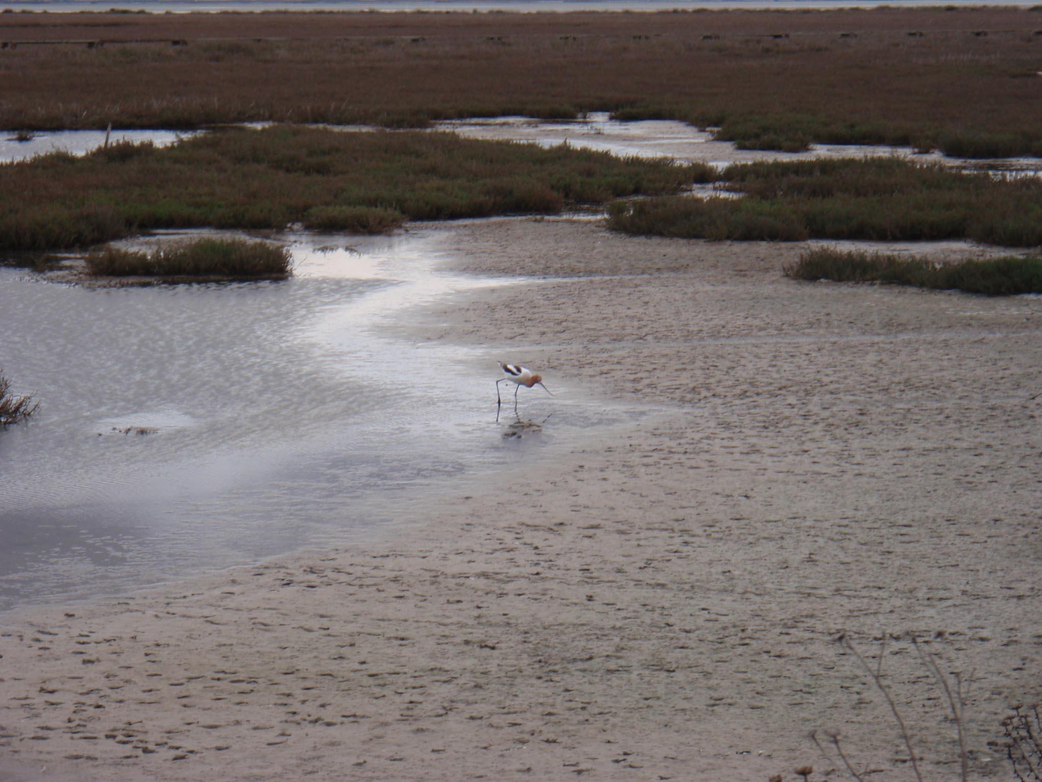 Heron, Palo Alto Baylands, March 2009