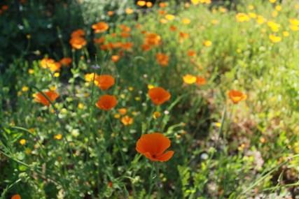 California flower macro