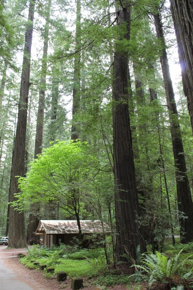 The Redwoods in Northern California