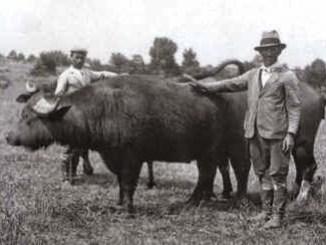 bufalo allevamento 1900