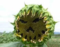 nssfarmsunflower175
