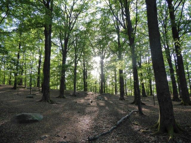 Sun shining through a dense, leafy beech forest in Sweden.