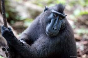 2-tangkoko-12-sulawesi-black-macaques