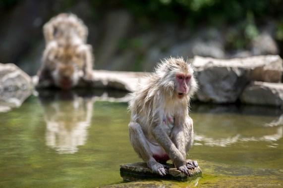 visiting Snow Monkeys in Japan