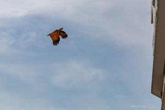 Kampong Baru Malaysia KL eagle