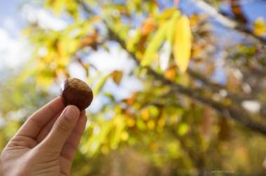 bright-wandiful-produce-chestnut